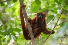 Red Howler Monkey (Alouatta Se...