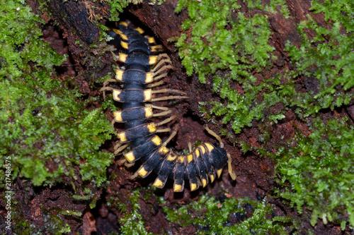 Vászonkép Flat-backed millipede (Polydesmida) in Tambopata National Reserve, Peru