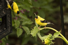 American Goldfinches In Nighth...