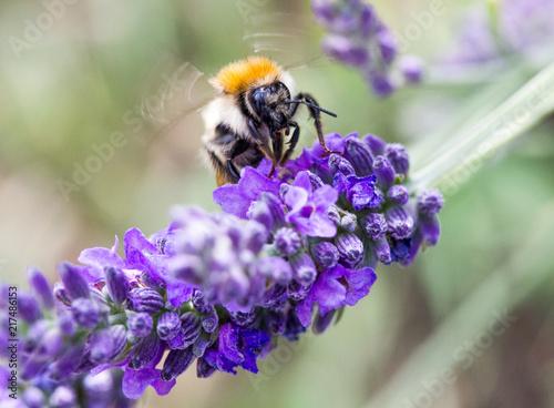 abeille vole fleur de lavande Canvas Print