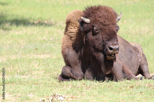 In de dag Bison american bison laying in grassy field