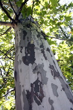 Motley Trunk Of Plane Tree With Foliage