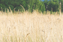 Yellow Tall Grass Growing On T...