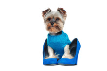Yorkshire Terrier Wearing Blue Pullover Sitting In Blue High Heels Shoes