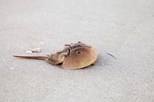 Atlantic Horseshoe Crab Limulus Polyphemus Walks Along The White Sand