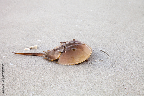 Atlantic Horseshoe crab Limulus polyphemus walks along the white sand