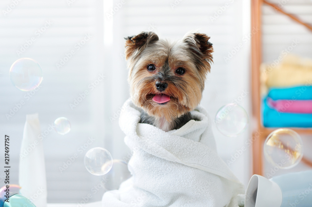 Yorkshire terrier in a bath towel showing tongue