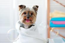 Smiling Dog After Bath Showing...