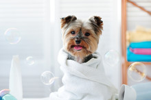 Yorkshire Terrier In A Bath To...