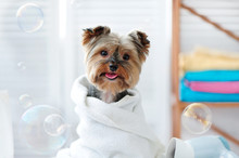Cute Little Yorkie Dog In A To...