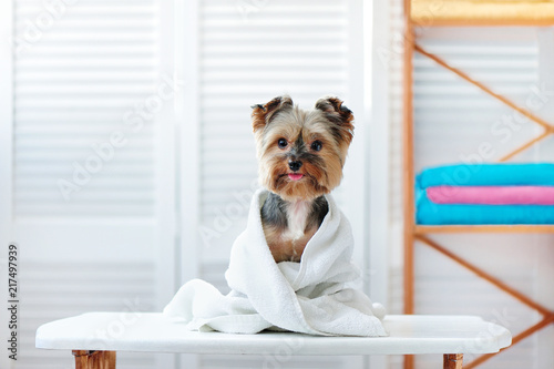 Fototapeta Happy yorkshire terrier dog after bath