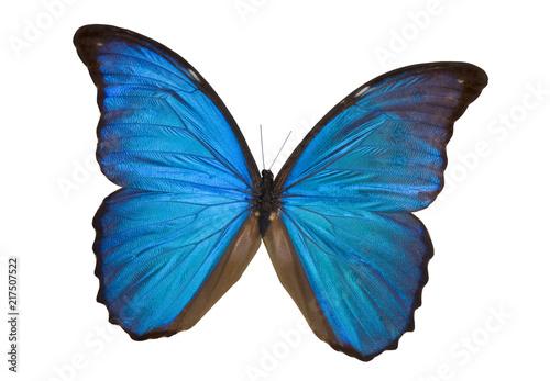 Fotografie, Tablou Blue Morpho Butterfly