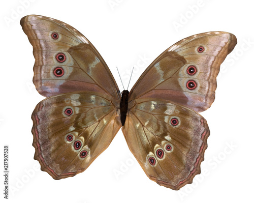Fotografie, Obraz  Morpho butterfly underside on white background