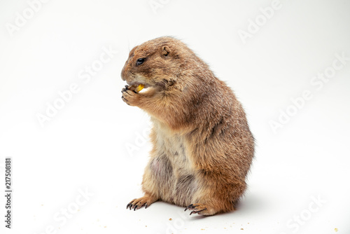 Fotografie, Obraz  Black-tailed prairie dog, with isolated white background