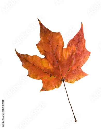 Fotografie, Obraz  Autumn sugar maple leaf isolated