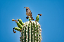 Saguaro Cactus Fruit With Cact...