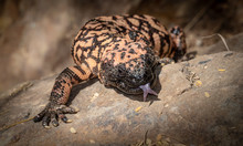 Gila Monster Heloderma Suspect...