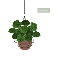 Calathea Houseplant In A Hanging Metal Wire Planter Pot Holder Vector Graphic
