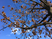 Barren Tree Branches And Blue Skies In Fall