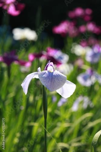 Staande foto Iris 花菖蒲園