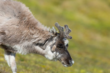 Young Svalbard Reindeer (rangi...