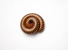 Beautiful Red Millipede Rolled...
