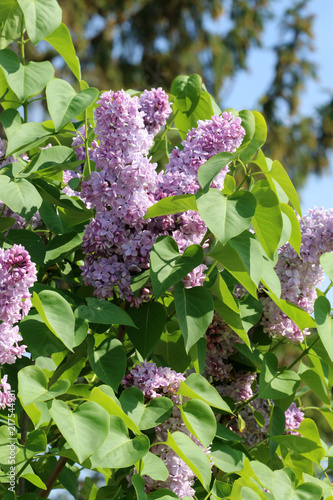 Deurstickers Lilac Flieder
