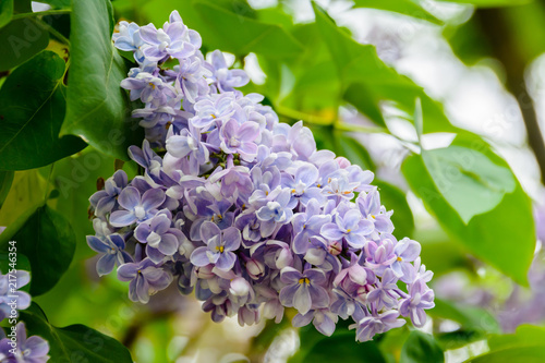 Foto op Plexiglas Lilac A branch of sirens on a tree in a garden, park. Beautiful flowering flowers of lilac tree at spring. Blossom in Spring. Spring concept. Crown Avenue. Volga Embankment in Ulyanovsk, Russia.
