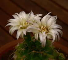 Cactus Delicate Flowers Of Pearly Petals