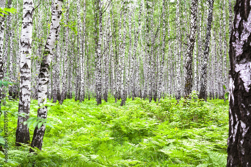 Keuken foto achterwand Lime groen summer landscape with birches in forest