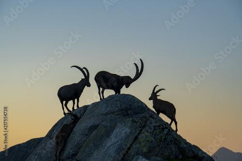 Valokuvatapetti Steinbock-Kolonie, Alpensteinbock - Capra ibex