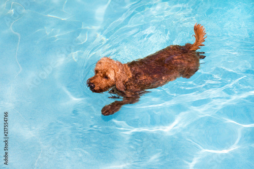 Canvas-taulu Goldendoodle swimming in pool