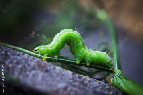 Fotomural Green caterpillar or green worm on a branch with an ant