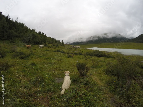 Fotobehang Wit Russia, Altai Republic, dog, Golden Retriever, horse