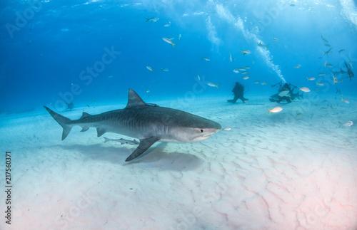 Keuken foto achterwand Turkoois Tiger shark at Tigerbeach, Bahamas