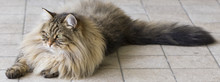 Beauty Cat In A Garden. Hypoallergenic Pet Of Livestock, Siberian Breed Brown Color Male