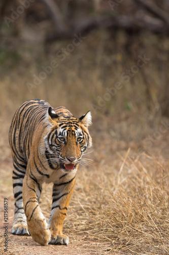Foto auf AluDibond Tiger Tiger Swag Ranthambore Tiger Reserve Rajasthan