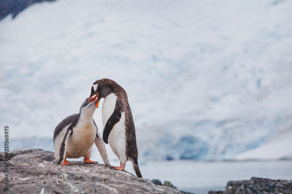 gentoo penguin feeding his baby chic in Antarctica