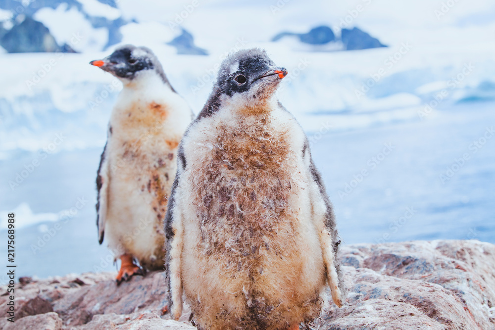 cute dirty penguin chics in Antarctica