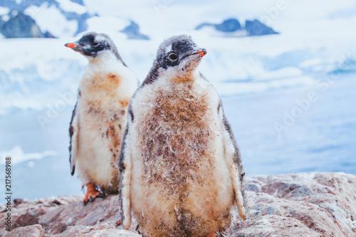 cute dirty penguin chics in Antarctica