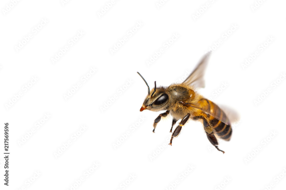 Fotografie, Obraz A close up of flying bee isolated on white background