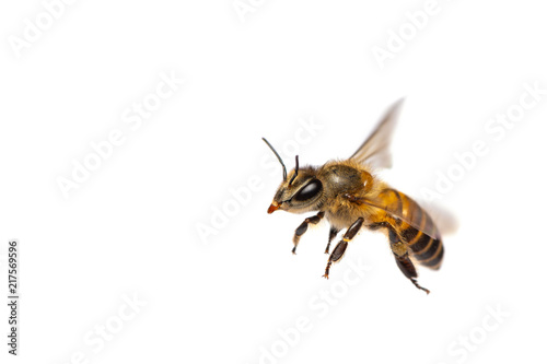Photographie A close up of flying bee isolated on white background