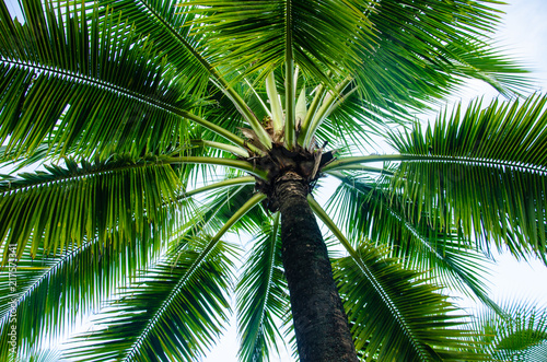Staande foto Palm boom coconut palm tree