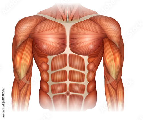 Muscles of the human body, torso and arms, beautiful colorful illustration Wallpaper Mural