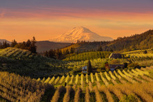 Beautiful Golden Sunset Over Hood River Pear Orchard In Oregon