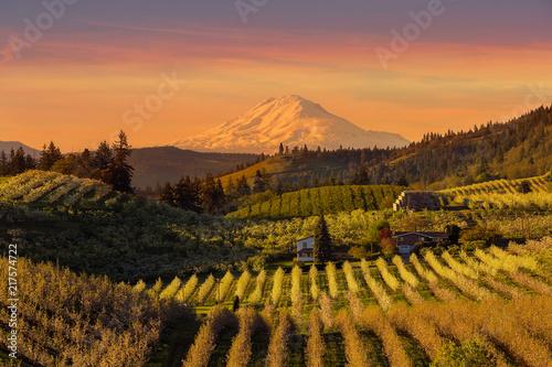 Fotografija  Beautiful Golden Sunset over Hood River Pear Orchard in Oregon
