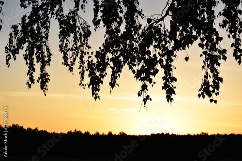 liście brzozy podczas zachodu słońca - 217588375