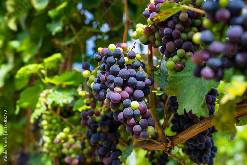 Valokuva  Ripening red grapes close-up on a vine plantation on a beautiful hot, sunny, summer day in western Germany