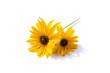 canvas print picture - Gelber Sonnenhut Blume isoliert freigestellt auf weißen Hintergrund, Freisteller