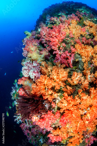 Fototapety, obrazy: Beautifully colored soft corals on a thriving tropical coral reef